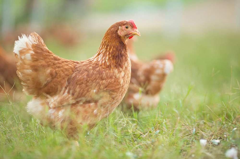 Hens, Organic Eggs